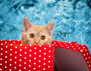 Cute kitten look out of the red gift box on blue frosty pattern background