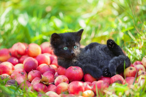 Cute kitten lying on red apples