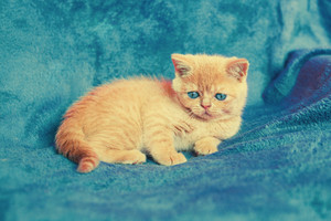 Cute kitten on blue blanket