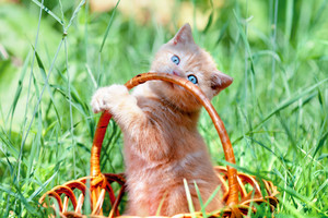 Cute kitten playing in the basket