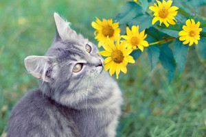 Cute kitten sitting near yellow flowers