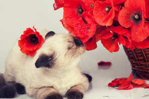 Cute kitten sniffing poppies