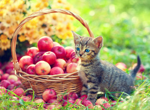 Cute kitten walking in the garden near basket with apples