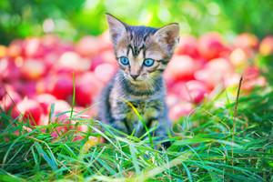 Cute little black kitten sitting on green grass near red apples