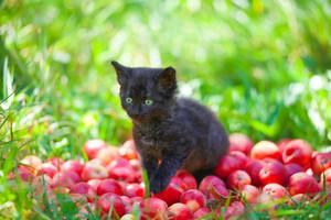 Cute little black kitten sitting on red organic apples on green grass