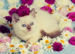 Cute little color point kitten sitting on chamomile and chrysanthemum flowers