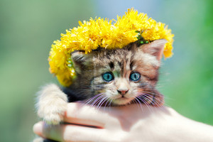 Cute little kitten crowned with a chaplet of dandelion in female hands