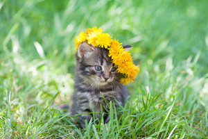 Cute little kitten crowned with a chaplet of dandelion walking on the grass