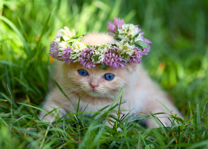 Cute little kitten crowned with a flower chaplet sits on the grass