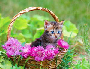 Cute little  kitten in a basket with pink flowers outdoors