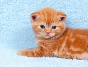 Cute little kitten on blue blanket