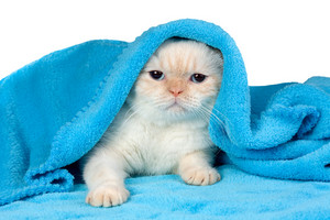 Cute little kitten peeking out from under the soft warm blue blanket