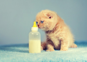 Cute little kitten sniffs bottle with milk