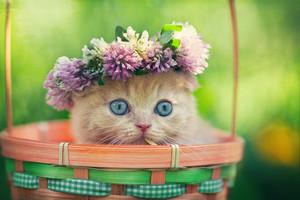 Cute little kitten wearing chaplet in a basket