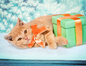 Cute little kitten with present box lying on window with frosty christmas pattern