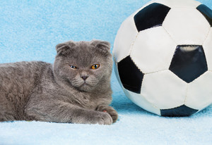 Cute little scottish fold kitten lying near big football