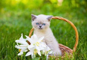 Cute little siamese kitten in a basket with lily flowers outdoor