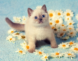 Cute little siamese kitten on chamomile flowers
