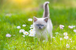 Cute little siamese kitten on the flower lawn