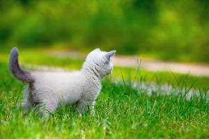 Cute little siamese kitten on the grass