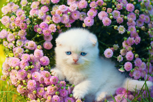 Cute little white scottish fold kitten sitting in flowers