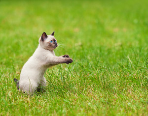 Cute playful siamese kitten on the grass
