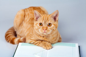 Cute red cat reading notebook