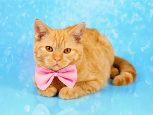Cute red cat wearing bow tie