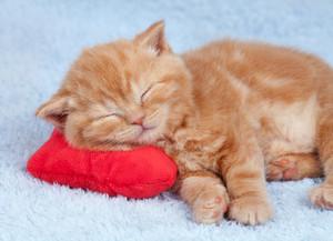 Cute red little kitten sleeping on the pillow