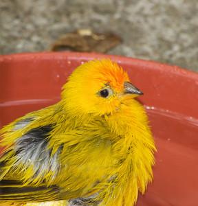 Cute Saffron Finch Bird