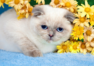 Cute scottish fold kitten with flowers