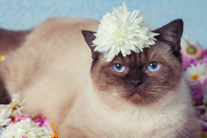 Cute siamese cat have a rest on the flowers