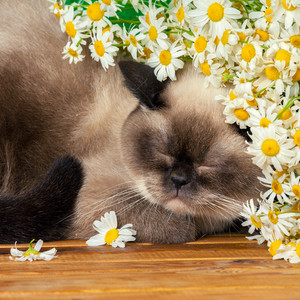 Cute siamese cat sleeping under camomile flowers