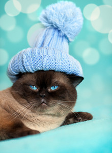 Cute siamese cat wearing knitting hat with pompom
