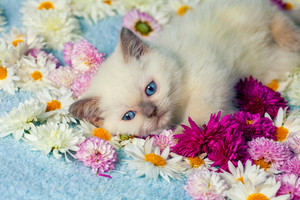 Cute siamese kitten have a rest on the flowers