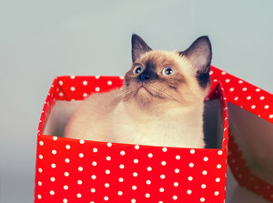 Cute siamese kitten look out of the red gift box