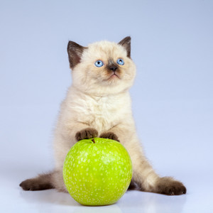 Cute siamese kitten playing with green apple
