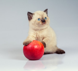 Cute siamese kitten playing with red apple