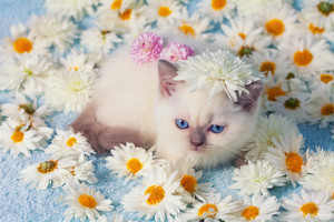 Cute siamese kitten relaxing on the flowers
