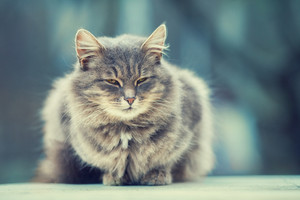 Cute siberian cat relaxing outdoors in winter