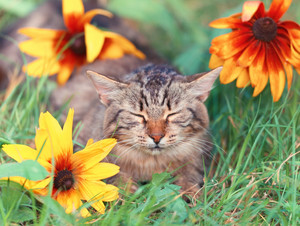 Cute siberian cat sleeping in flower lawn