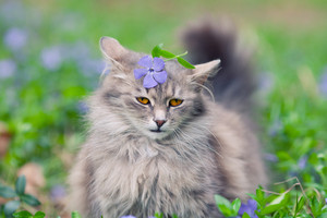 Cute siberian cat walking on the periwinkle lawn