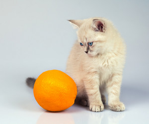 Cute thai kitten with orange