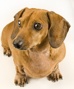 Cute Weiner Dog Puppy Staring Off Camera