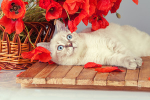 Cute white kitten relaxing near basket with poppies