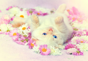 Cute white kitten relaxing on the flowers