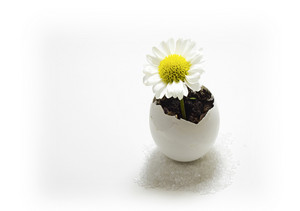Daisy In Egg Shell