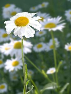 Daisy In Summer Garden With Sparkling Rain Drops