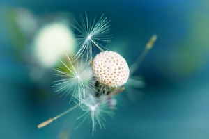 Dandelion against blue background