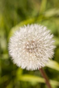 Dandelion Blowball
